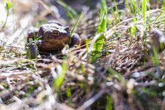 Common toad in the grass Royalty Free Stock Photos