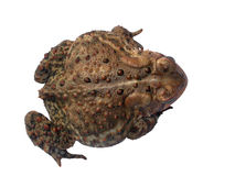 A common toad isloated. A common toad isolated on white with a clipping path - top view Stock Images