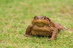 Common Toad with landscape Stock Photo