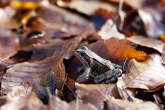 Common toad - leaves Stock Photos