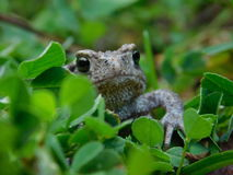 Common toad. Stock Photography
