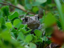 Common toad. Royalty Free Stock Images