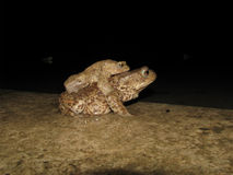 Common toad mating Royalty Free Stock Photos