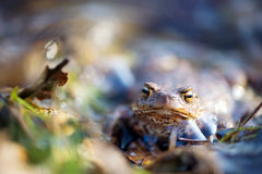 Common toad in nature water Royalty Free Stock Photo
