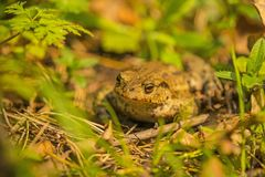 Common toad in Poland Stock Photo