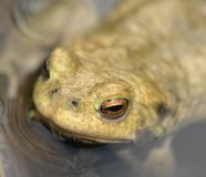 Common toad portrait Royalty Free Stock Images