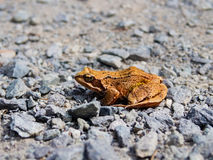 Common toad, rana temporaria, sitting on the rocky road. Orange brown common toad, rana temporaria, calmly sitting on the rocky road Royalty Free Stock Photography