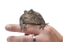 Common toad sitting on a finger Royalty Free Stock Photo