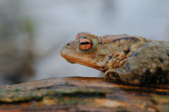Common toad. Sitting on a floating root Stock Photography