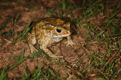 Common toad sitting in the grass Stock Images