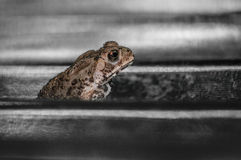 Common toad sitting, portrait of brown common toad macro shot Stock Image