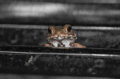 Common toad sitting, portrait of brown common toad macro shot Stock Images