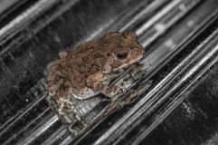 Common toad sitting, portrait of brown common toad macro shot Stock Photos