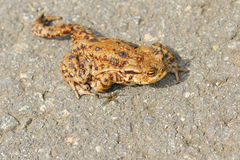 Common Toad Stock Images