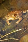Common toad sunbathing Stock Images