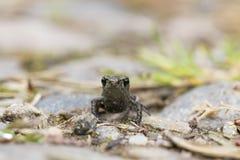 Common toad swimming, breeding, Stock Photo