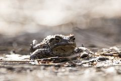 Common toad swimming, breeding, Royalty Free Stock Images