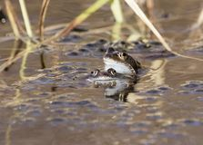 Common toad swimming, breeding, Stock Photography