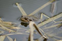 Common toad swimming in the spring pool Royalty Free Stock Photos