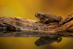Common toad. A common toad walking along an old piece of wood in a reflection pond Stock Photography