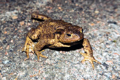 Common toad Stock Image