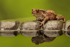 Common toad. A common toad walking over an old tile in a reflection pool Royalty Free Stock Photography