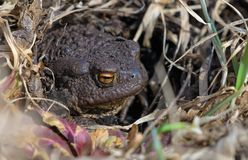 Common toad reposes itself under bright sun in warm spring. Common toad warms itself up under bright sun in early spring royalty free stock images