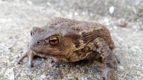 Common UK toad. Common toad that was hibernating in a 1968 mini cooper inside my garage Royalty Free Stock Photography