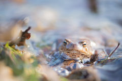 Common toad in water Stock Photo