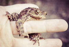 Common Toad Royalty Free Stock Images