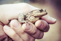 Common Toad Royalty Free Stock Image