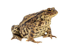 Common toad on white background Royalty Free Stock Photography