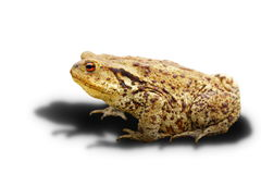 Common toad on white background with shadow. Bufo, adult wild animal Royalty Free Stock Photo
