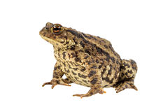 Common toad on white Royalty Free Stock Images