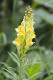 Common Toadflax Stock Image