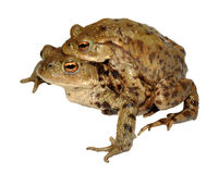 Common Toads Breeding Stock Photo