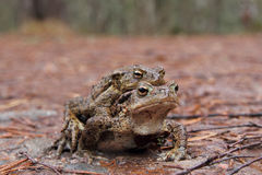 Common Toads (Bufo bufo) mating Royalty Free Stock Photos