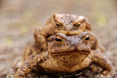 Common toads in the course of the copulation.View from the front Royalty Free Stock Photos