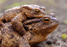 Common toads in the course of the copulation.View from the side Royalty Free Stock Photos