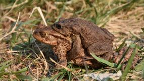 Common toads going to lake royalty free stock images