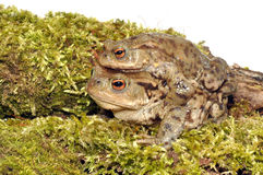 Common Toads Royalty Free Stock Images