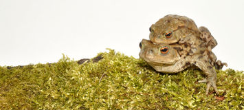 Common Toads Royalty Free Stock Photography