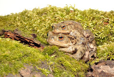 Common Toads Mating Stock Image
