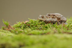Common toads mating. Common toads together, the male refusing to let go of the female during courtship Royalty Free Stock Image