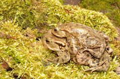 Common Toads Stock Photography