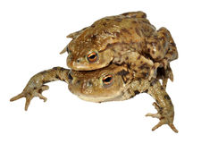 Common Toads Royalty Free Stock Photos