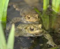 Common toads in a pond Stock Images
