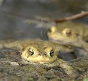 Common toads in a pond Stock Image