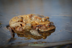 Common toads Stock Photos