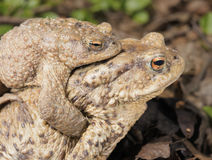Common Toads Royalty Free Stock Image